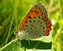 Butterfly - Lycaena hyllus