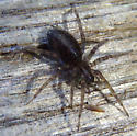 brown spider - Coras