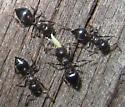 Ants - Crematogaster