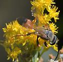 Kings Canyon Sphecidae - Sphex ichneumoneus