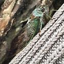 Female Neotibicen Cicada - Neotibicen - female