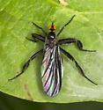 Black fly - Rhamphomyia longicauda - female