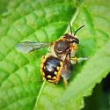 Carder Bee? - Anthidium manicatum - male
