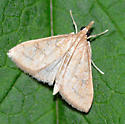 moth B - unident - Udea rubigalis