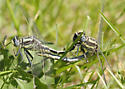 Plains clubtail - Gomphurus externus - male - female