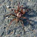 Unknown Spider - Antrodiaetus montanus
