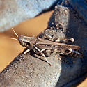 ID for a grasshopper? - Melanoplus devastator - female