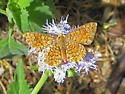 Butterfly ID? - Calephelis arizonensis - male