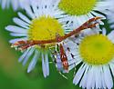 Plume moth on daisy fleabane - Geina tenuidactylus