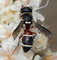 Which Mason Wasp is this? - Leptochilus
