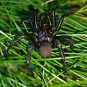 Spider in the grass! Ummidia? - Antrodiaetus