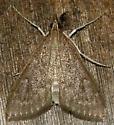 dogbane Saucrobotys moth - Saucrobotys futilalis