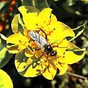 Unidentified fly, possibly bibionid - Bibio - male