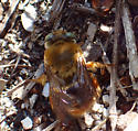 Protoxaea? Cloud of buzzing, friendly bees low to the dirt. - Centris errans - male