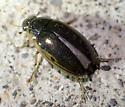 Dytiscidae? - Tropisternus lateralis