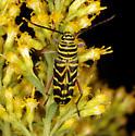 Cerambycidae, Locust Borer - Megacyllene robiniae