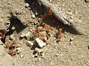 A red ant. - Pogonomyrmex maricopa
