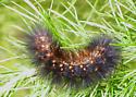 Florida Caterpillar on Fennel