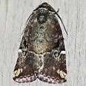 Variegated Midget Moth - Hodges #9678 - Elaphria versicolor