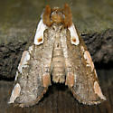 Dogwood Thyatirid - Euthyatira pudens - Euthyatira pudens