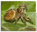 Jumping Spider Flat River - Phidippus clarus