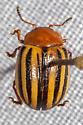 Leaf Beetle - Zygogramma continua