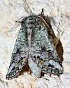 Please help us to identify this moth. - Litodonta hydromeli