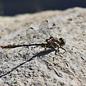 Dragonfly - Gomphus - male