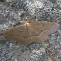 Moth 9.02.09 01 - Lambdina fiscellaria - male