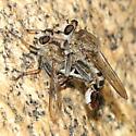 Robber Fly - Efferia - male - female