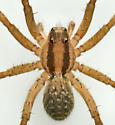 W190304 - Camptocosa texana - female