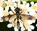 Thick-headed Fly - Physoconops obscuripennis