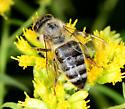 Fly or Bee - Apis mellifera
