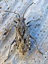 True bug - Stictopleurus