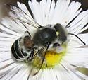 Megachile with Phoretic Mites - Megachile newberryae