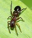ant-mimic spider - Sarinda hentzi