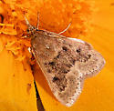 Moth - ? - Achyra rantalis