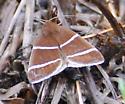 Argyrostrotis quadrifilaris – Four-Lined Chocolate Moth  - Argyrostrotis quadrifilaris