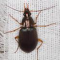 Vivid Metallic Ground Beetle - Chlaenius tricolor - female