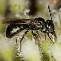 Bee IMG_1672 - Ceratina calcarata - male