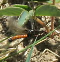 Black wasp-like insect with red abdomen