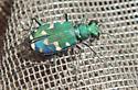 Utah Tiger Beetle - Cicindela oregona