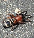 spider - Sergiolus capulatus