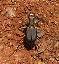 Smallish tiger beetle - Cicindelidia rufiventris