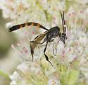 Neat Wasp - Gasteruption - male