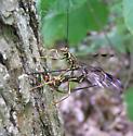 Giant Ichneumon Wasp - Megarhyssa macrurus - female