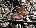 tiny lepidopteran - Leptostales rubromarginaria