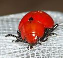 Leptinotarsa rubiginosa - Reddish Potato Beetle - Leptinotarsa rubiginosa