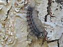 Caterpillar with red spots - Lymantria dispar