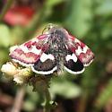 White-spotted Midget Moth - Eutricopis nexilis